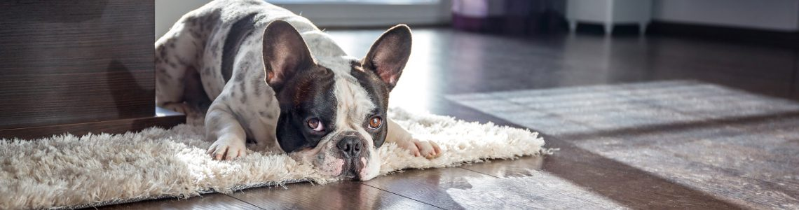 best apartment dogs the top 10 breeds petspyjamas