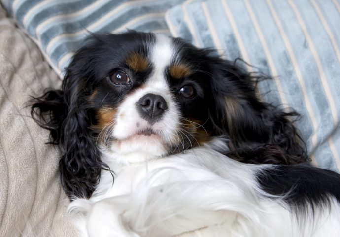 cavalier king charles spaniel, best apartment dogs
