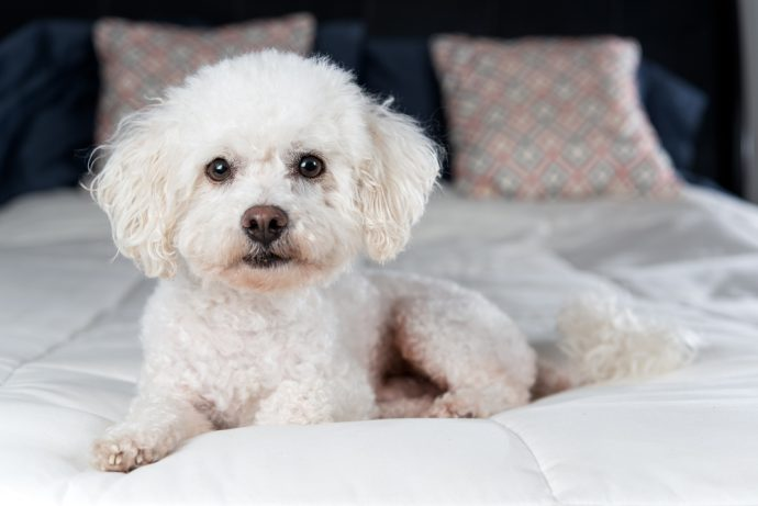 bichon frise, best apartment dogs