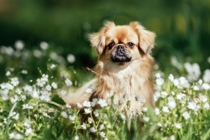 tibetan spaniel, best apartment dogs