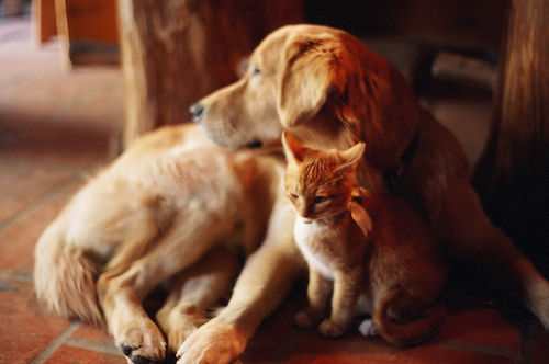 Ginger cats and dogs