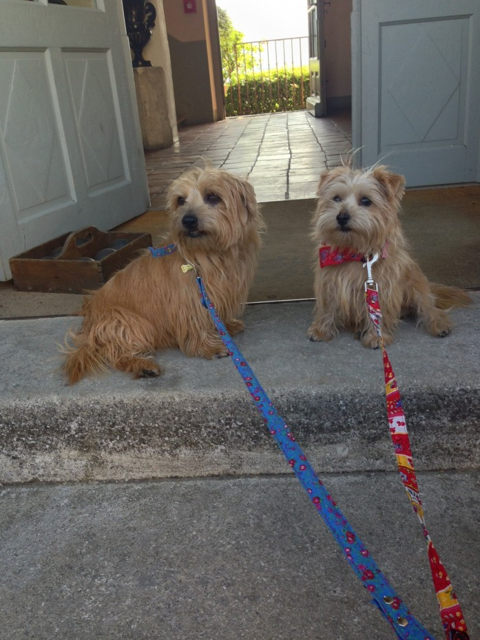 Rufus and Heidi in their Provençal collars, leads and bandanas