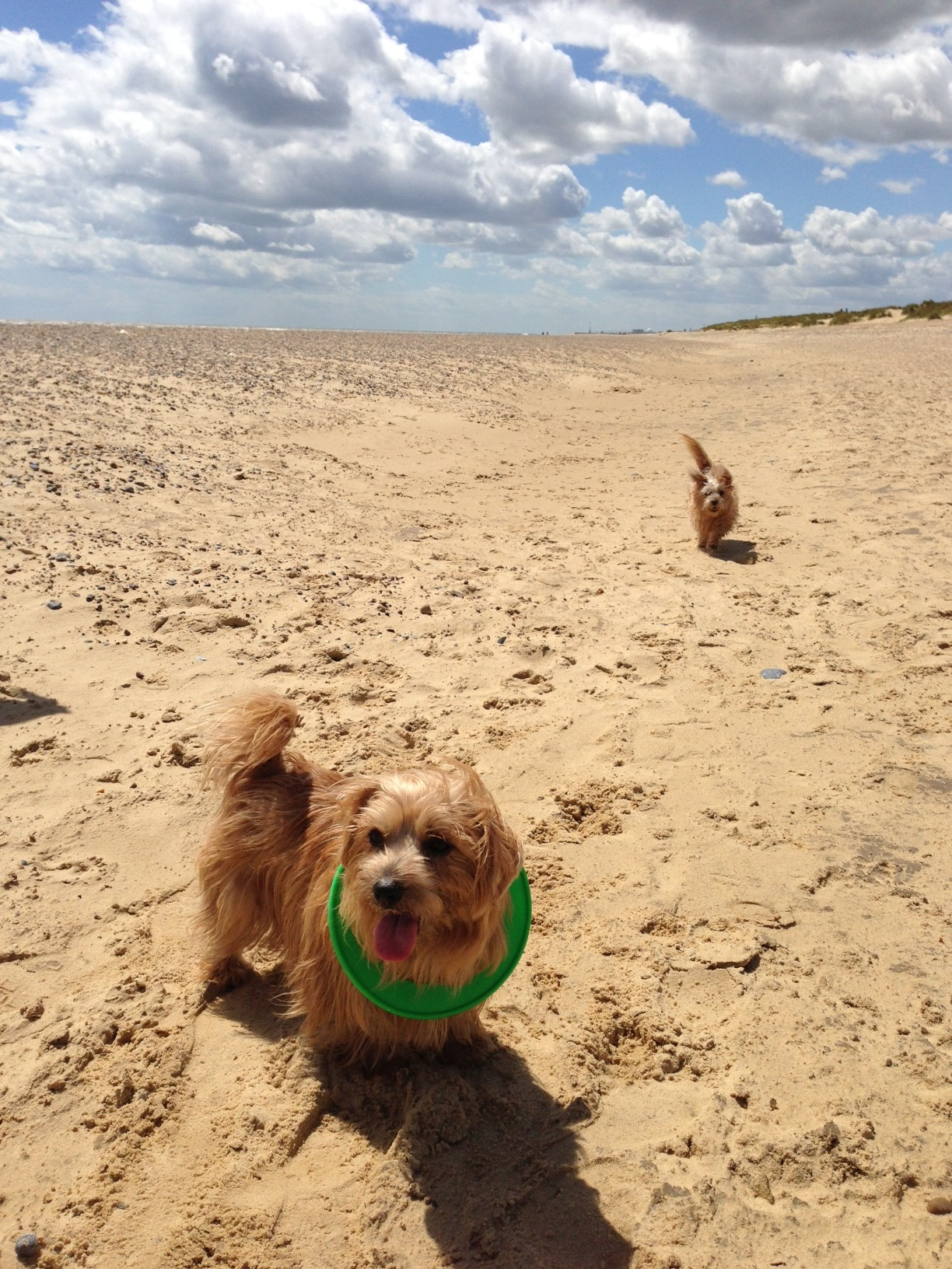 Terriers on Tour ... Rufus and Heidi enjoying themselves on a previous trip, on Southwold beach in Suffolk