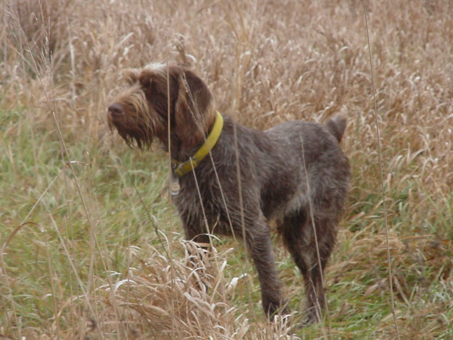 Why we love…spinone italiano 1