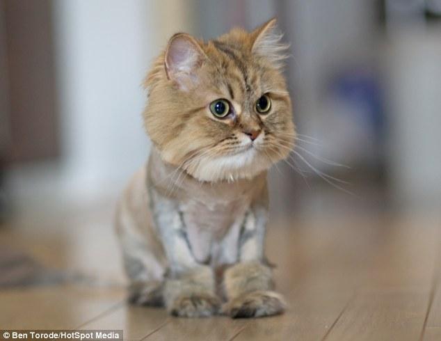 Haircut turns Persian cat into mini lion PetsPyjamas - PetsPyjamas