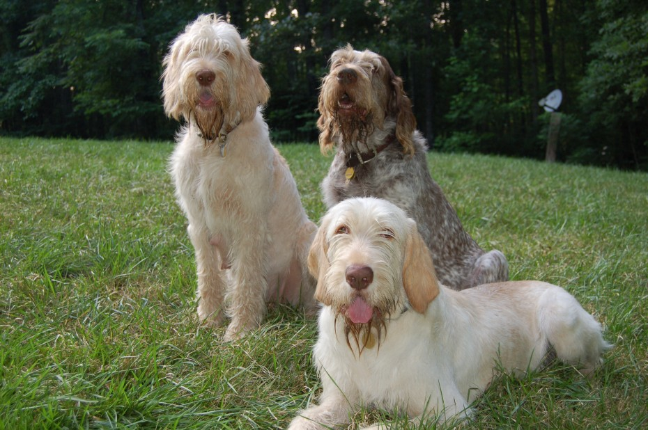 spinone1