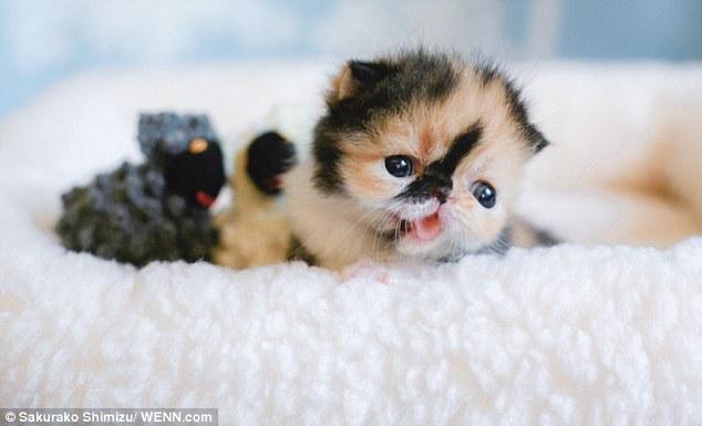 Is This The World S Cutest Kitten Petspyjamas