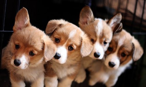 Puppies for sale: Find a good breeder