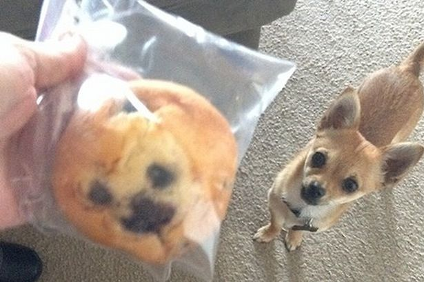 Blueberry Muffins Tumblr Tumblr-user-kaelin-muffin-dog