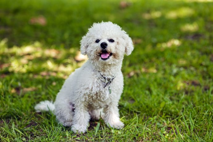 bichon-frise-least-walking