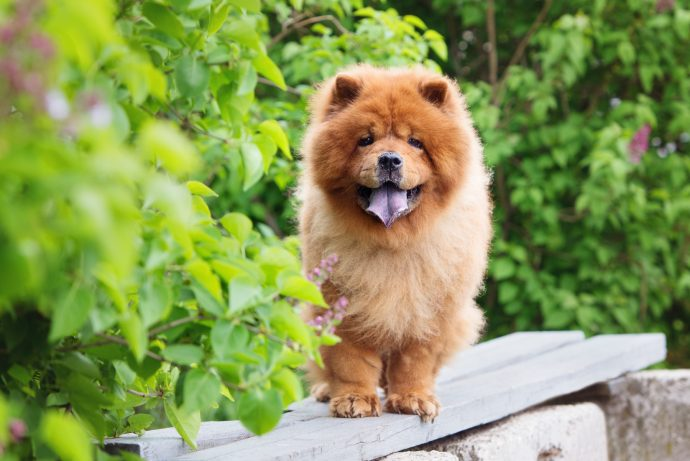 chow-chow-least-walking