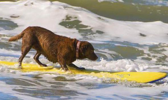 dog-surfing-surf-labrador-cute-adorable-455246