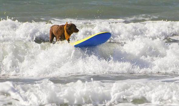 dog-surfing-surf-labrador-cute-adorable-4552462