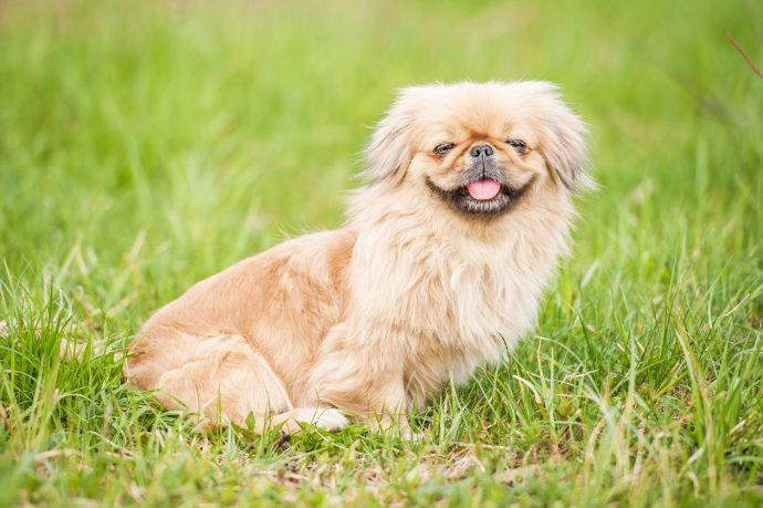pekingese-least-walking