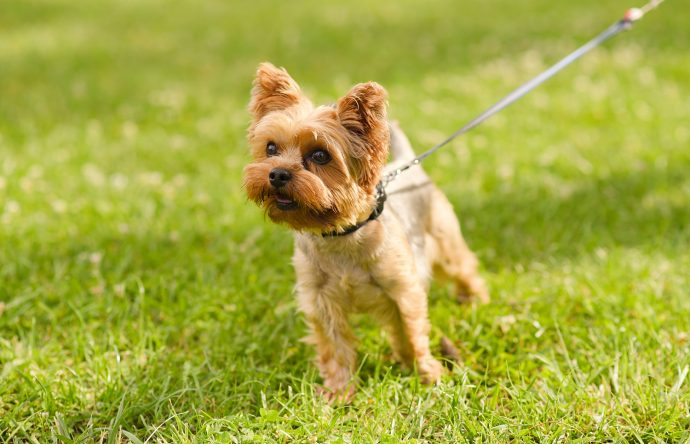 yorkshire-terrier-least-walking