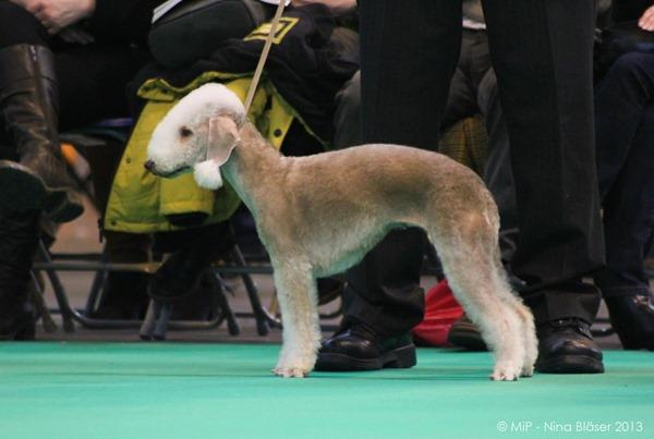 Bedlington Terrier Crufts 2013 Best Hairstyles...