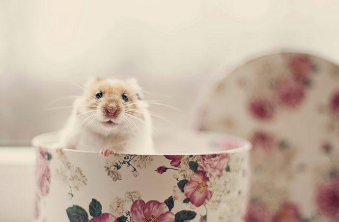 animaux de compagnie pour enfants hamster