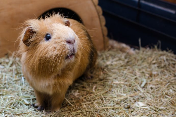 pets for kids guinea pig