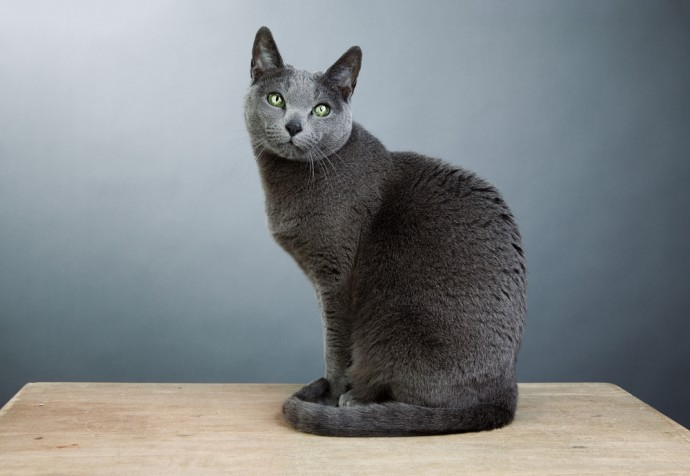 hypoallergenic cats russian blue cat