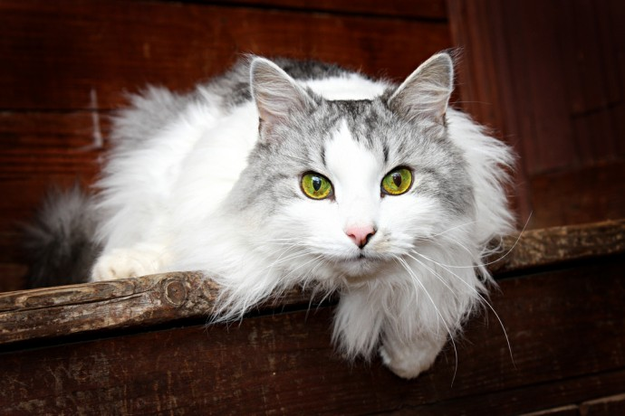 Top Hypoallergenic Cats for Allergy Sufferers