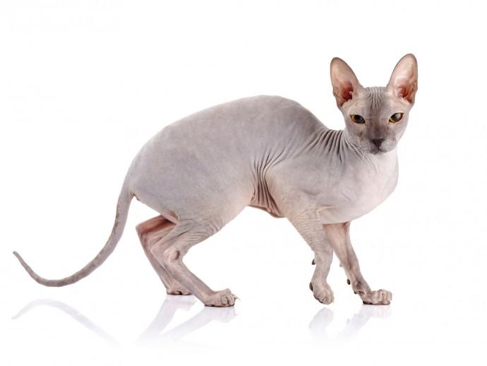 fel cat