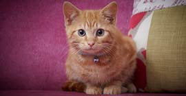 tabby kitten pet insurance
