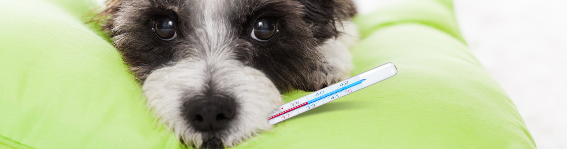 Can Dogs Catch Colds And Flu From Humans