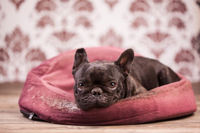 french bulldog bed dogs catch cold