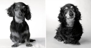 dog years lily dachshund 8 months 16 years