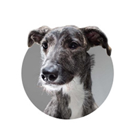 Piper Lurcher - PetsPyjamas Team