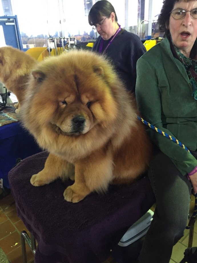 westminster dog show NYC (2)