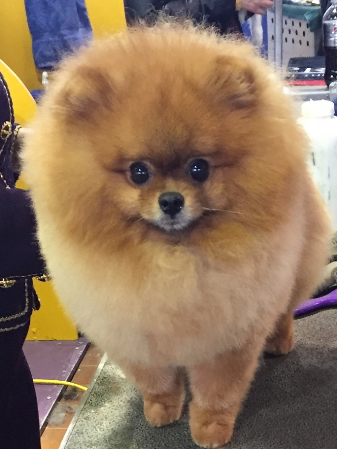 westminster dog show NYC (4)