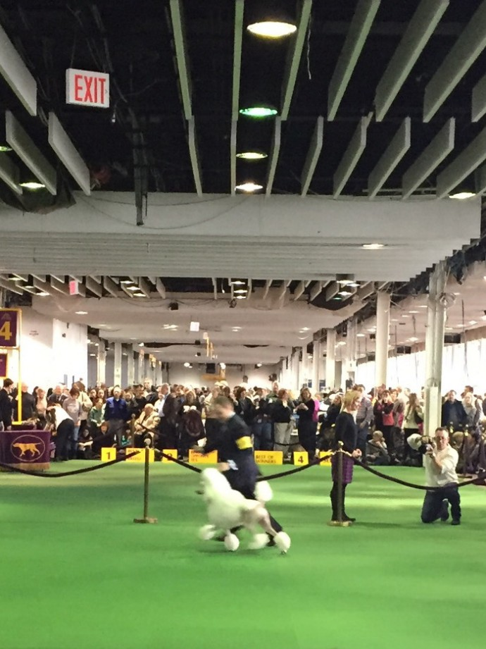 westminster dog show NYC (6)