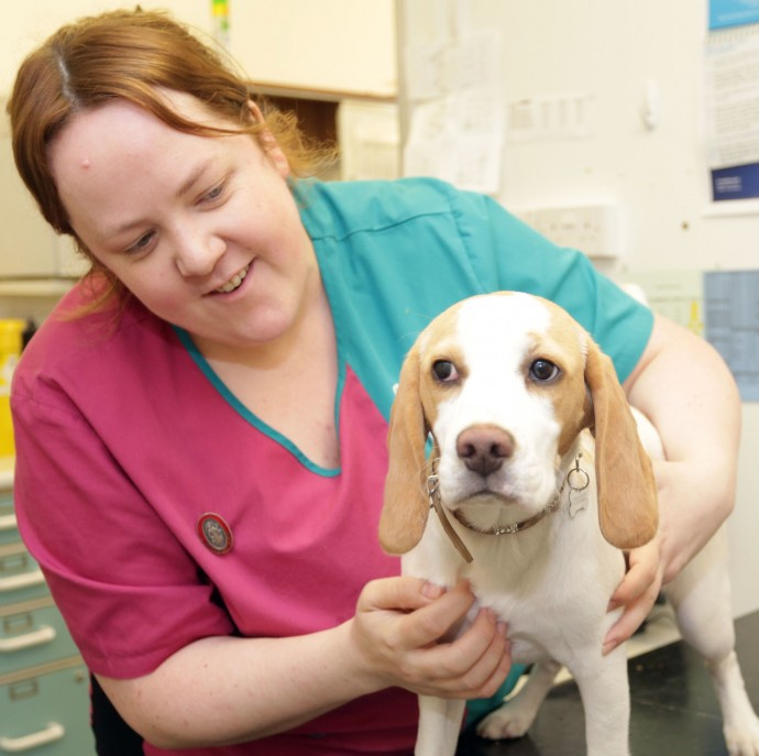 23-04-2015 Picture shows : Jessie the Beagle at PDSA hospital, Croydon UK. Carl Fox 07966 349 562 www.carlfox.photoshelter.com