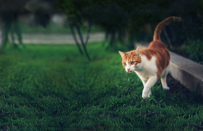 bengal cats as pets