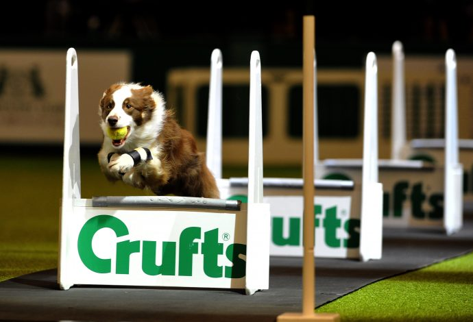 10.03.12 Copyright onEdition 2012 © Free for editorial use image, please credit: onEdition Picture shows Action from the Flyball final in the main ring today 10.03.12, the third day of Crufts 2012, at the Birmingham NEC. Crufts is the world's largest dog show and was established in 1891 by Charles Cruft. This year will see more than 21,000 healthy, happy dogs enjoying competing for the coveted 'Best in Show' title. Crufts 2012 runs from the 8th to the 11th March 2012 at the NEC, Birmingham. Crufts is the perfect opportunity for dog lovers to find out even more about the range of schemes, activities and events that they can get involved in, to ensure that they and their dog have a long, healthy and fulfilling relationship from puppy-hood, all the way through their lives! For additional images, press releases, video or audio content please visit: http://www.w-w-i.com/crufts_2012/ For more information please contact the press office on + 44(0)20 7518 1008 or email press.office@thekennelclub.org.uk If you require a higher resolution image or you have any other onEdition photographic enquiries, please contact onEdition on 0845 900 2 900 or email info@onEdition.com This image is copyright onEdition 2012 ©. This image has been supplied by onEdition and must be credited onEdition. The author is asserting his full Moral rights in relation to the publication of this image. Rights for onward transmission of any image or file is not granted or implied. Changing or deleting Copyright information is illegal as specified in the Copyright, Design and Patents Act 1988. If you are in any way unsure of your right to publish this image please contact onEdition on 0845 900 2 900 or email info@onEdition.com