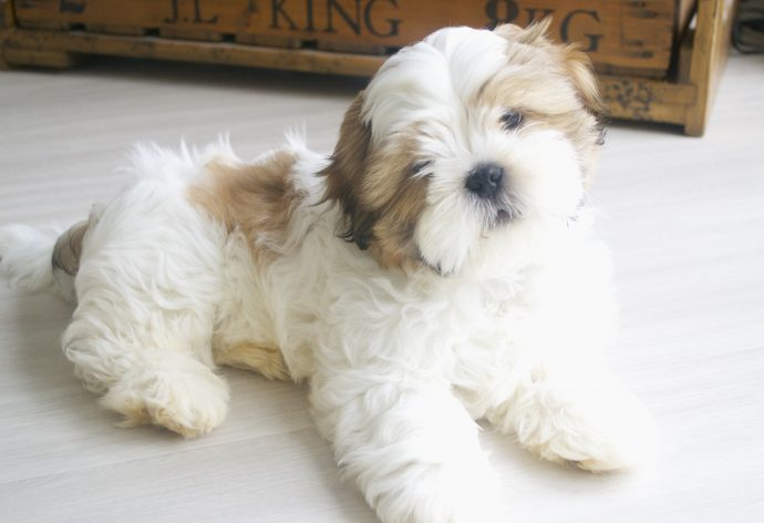 Shih Tzu Is This The Right Dog Breed For Me Petspyjamas