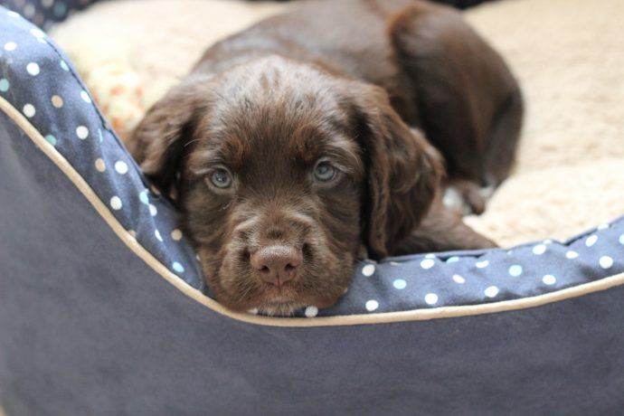 working cocker spaniel puppies