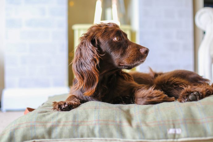 working cocker spaniel