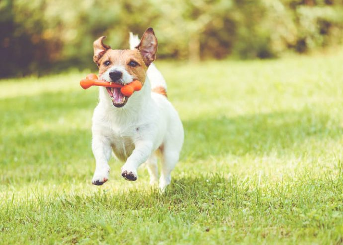 dog running with dog toy