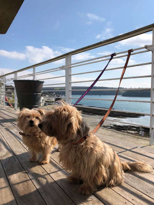 Rufus and Heidi Norfolk Terriers on the balcony at the Tresanton Hotel