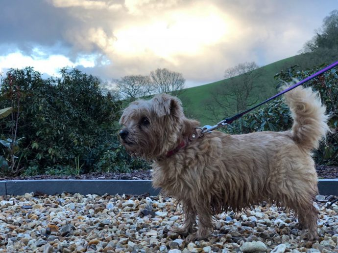 Heidi and Rufus Norfolk Terrier Devon and Cornwall Roadtrip Paschoe House dog friendly hotel