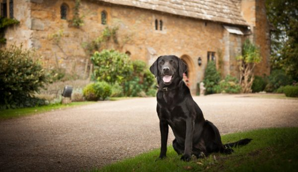 black Labrador at dog-friendly hotel in Sussex