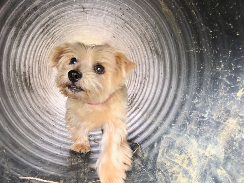 norfolk terrier enjoying obstacle course at dog-friendly hotel
