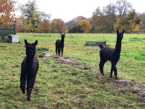 10 Castle Street Alpacas Garden Dog Friendly Travel PetsPyjamas